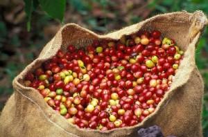 Giá nông sản hôm nay 15/5: Giá cà phê tăng 700-900 đ/kg, giá tiêu đi ngang