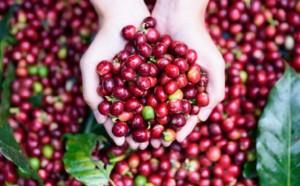 Giá nông sản hôm nay 17/5: Giá cà phê giảm 400-1.100 đ/kg, giá tiêu đi ngang