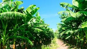 Lãi nghìn tỷ từ chuối, bầu Đức sẽ 'bội thu' thêm từ lá và thân cây