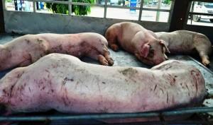 Phát hiện lợn bị dịch tả lợn châu Phi vận chuyển trên xe tải ở Quảng Nam