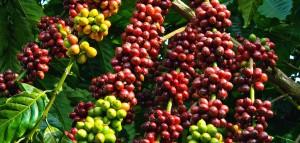 Giá cà phê hôm nay 24/6: Ổn định, dao động từ 32.000 - 33.300 đồng/kg