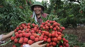 Giá vải thiều Bắc Giang cao kỷ lục, có lúc lên đến 70.000 đồng/kg