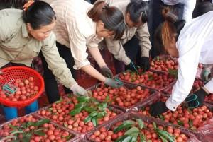 Hàng trăm chủ vựa Trung Quốc tranh mua, vải thiều Bắc Giang giá cao kỷ lục