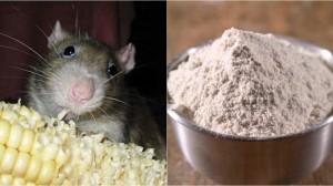 Lấy 1 nắm gạo trộn xi măng, chuột lũ lượt