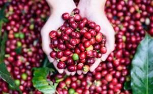 Giá cà phê hôm nay 17/7: Giảm 400-500 đồng/kg