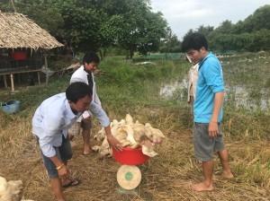 Giá vịt thương phẩm tăng cao do dịch tả lợn, nông dân có lãi khá