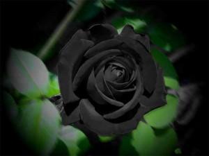 Nơi duy nhất trên thế giới tồn tại hoa hồng đen huyền bí