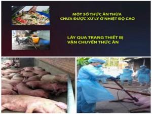 Nguy cơ tiềm ẩn lây lan dịch tả lợn châu Phi từ thức ăn thừa