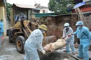 Nơi duy nhất cả nước chưa bị dịch tả lợn châu Phi là tỉnh nào?
