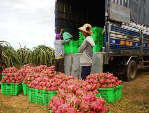 Trung Quốc tăng mua đẩy giá thanh long tăng cao, nông dân lãi lớn