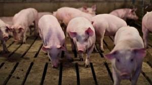 Giá heo hơi hôm nay 17/8: Việt Nam sẽ tăng nhập khẩu thịt heo từ Mỹ