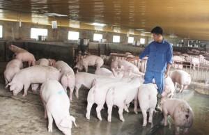 Trung Quốc hủy mua thịt lợn Mỹ: Người Việt sẽ ăn thịt lợn Mỹ giá rẻ