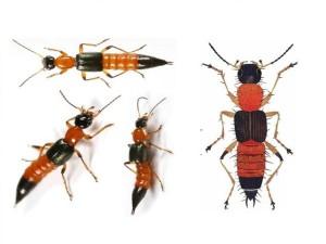Độc tố mạnh gấp 12-15 lần rắn hổ mang, cần làm gì khi bị kiến ba khoang cắn?