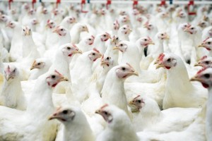 Gà công nghiệp bất ngờ lên mức 40.000 đồng/kg, Tết này giá thịt gà ra sao?