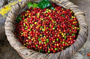 Giá cà phê hôm nay 20/11: Tiếp tục giảm mạnh 500 - 700 đồng/kg