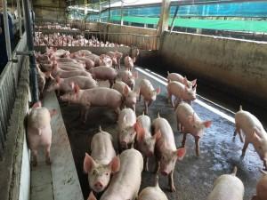 Giá heo hơi hôm nay 28/11: 13 doanh nghiệp chăn nuôi lớn đồng thuận giữ giá
