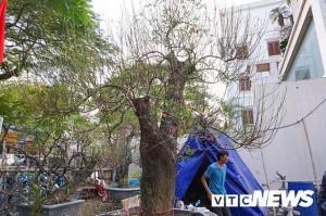 Gốc đào rừng nặng 1 tấn, cao 5 mét đã xuất hiện ở Hà Nội