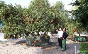 Cây quýt rừng chưng Tết 3 tạ quả được hét giá 100 triệu đồng