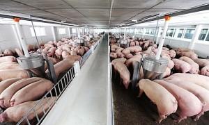 Giá heo hơi hôm nay 16/1/2020: Chững giá, áp lực từ thịt nhập?