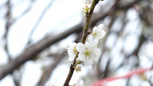 Hoa mơ rừng trắng muốt, hàng lạ hút khách chơi Tết