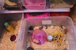 Vì sao Chuột Hamster siêu đắt nhiều người vẫn rinh về chơi Tết Canh Tý?