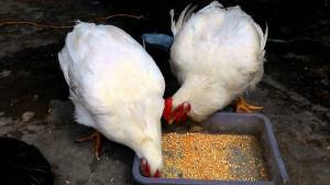 Giá gà rẻ hơn rau vẫn khó tiêu thụ