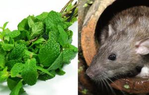 Chuột không dám bén mảng chỉ bằng việc trồng thứ cây mà ai cũng thích này trong nhà