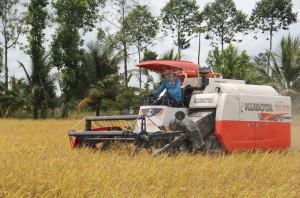 Sau lệnh tạm dừng xuất khẩu gạo: Giá lúa giảm khoảng 200 đồng/kg