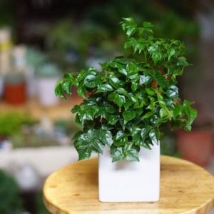 Loại cây may mắn nhất định phải trồng trong nhà, đặc biệt người mệnh Kim
