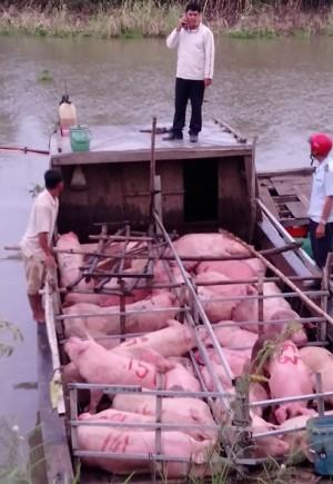 Chặn đứng hơn 4 tấn lợn nhập lậu từ Campuchia về Việt Nam tiêu thụ