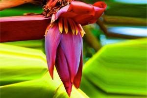 10 công dụng tuyệt vời của hoa chuối đối với sức khỏe không phải ai cũng biết