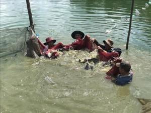 Cá rô phi Philipines khác rô phi thường điểm gì mà ông nông dân tỉnh Bà Rịa-Vũng Tàu bắt 300 tấn, thu 9 tỷ?