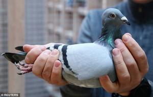 Cận cảnh con bồ câu từng vô địch hội thi chim được bán giá cao kỉ lục 43 tỉ đồng