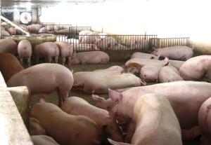 Ồ ạt tăng giá dịp Tết, lãi 4 triệu/con lợn dân nuôi mất ăn mất ngủ
