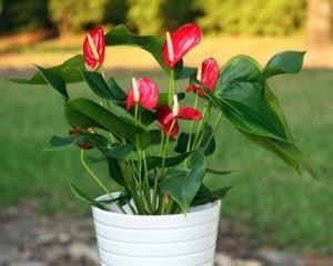 Người mệnh hỏa nên trồng 1 trong 5 loại cây này trong nhà để hút tài lộc quanh năm
