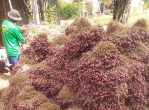 Giá hành khô rơi một phát từ 60.000 đồng/kg xuống còn 2.000 đồng/kg, nông dân khóc ròng