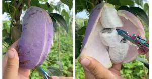 Thứ quả lạ 'vỏ xoài ruột chuối' giá cả trăm nghìn một trái