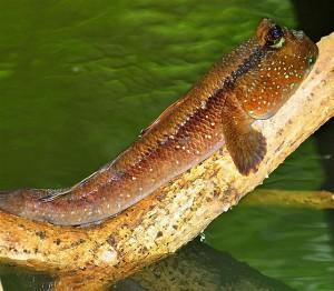 Vùng này ở Việt Nam có loài cá biết leo cây, chạy nhảy được xếp vào loại những đặc sản kỳ lạ nhất