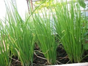 Bí kíp trồng hành lá nhanh thu hoạch tại nhà bằng những vật dụng đơn giản