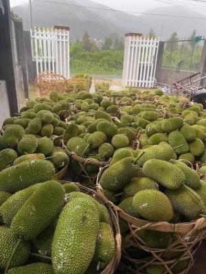Giá mít Thái giảm vì khó vận chuyển, bà nội trợ mua 25 nghìn đồng/kg là được quả múi vàng đậm, ngọt thơm trên chợ mạng