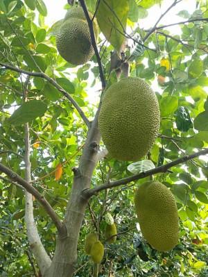 Mít Thái giảm giá vì ngừng xuất khẩu, người trồng