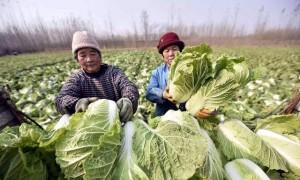 Đi mua rau cải tốt nhất đừng chọn 4 loại bất thường này vì có thể chứa formaldehyde, người trồng rau còn sợ không dám ăn