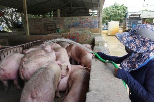 Giá lợn hơi rơi tự do, người nuôi bán một con lỗ 2 triệu đồng