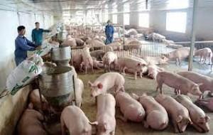 Giá lợn 30.000/kg, 'khủng hoảng lịch sử' một lần nữa lặp lại