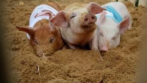 Kỳ lạ trạng trại 5 sao cho lợn nằm điều hòa, nghe nhạc cổ điển