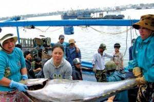 Phú Yên: Ngư dân tham gia chuỗi liên kết nâng cao chất lượng sản phẩm cá ngừ đại dương