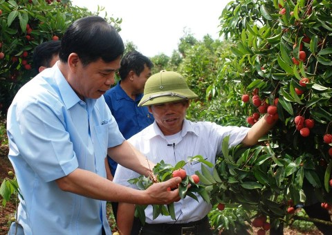 3.600 tỷ đồng rơi vào túi nông dân Bắc Giang nhờ vải thiều