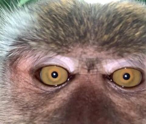 Khó tin chú khỉ ăn cắp iPhone, mang ra giữa rừng chụp selfie, quay phim