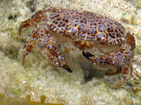 Cảnh báo: Tử vong vì ăn cua biển lạ, màu sắc sặc rỡ