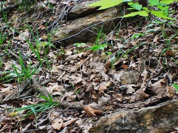 Đi đường rừng, nếu giẫm lên đám lá này, bạn có thể mất mạng!